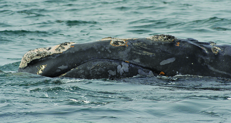 right whale named shackelton