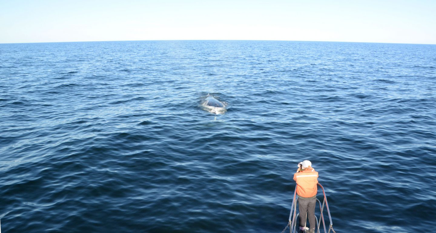 a researcher on bow sprit photographing right whale
