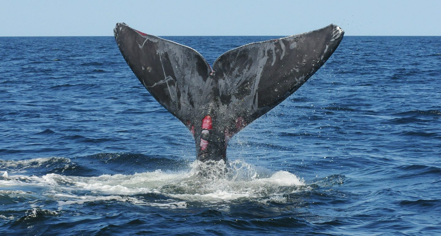 an entangled right whale