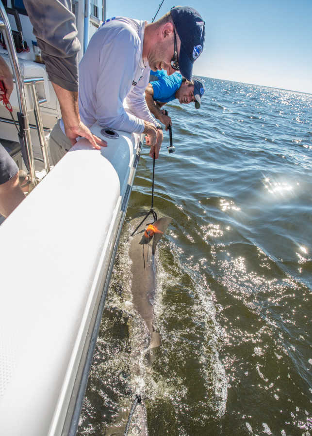 Researchers release tagged blacktip shark.
