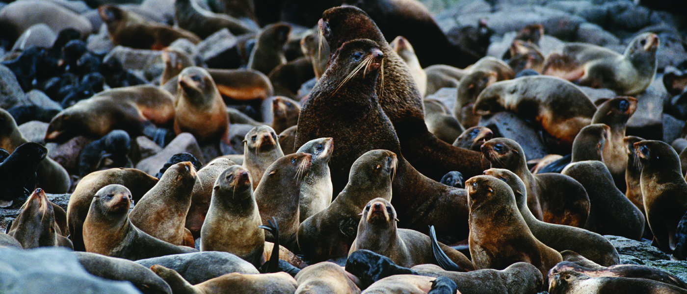 [IMG] A group of Northern fur seals on land.