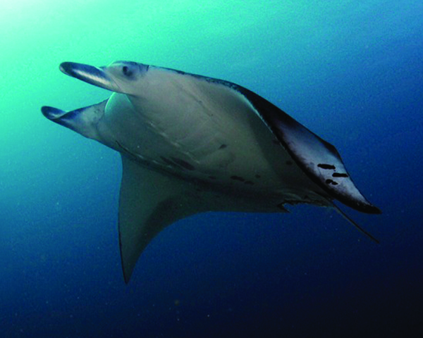 [IMG] A large ray swims underwater.