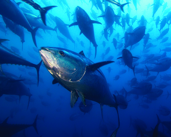 [IMG] A school of bluefin tuna swim in the water.