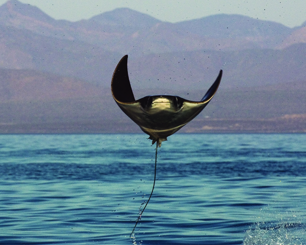 [IMG] A manta ray jumps out of the water.