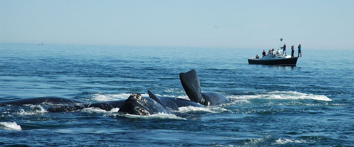 [IMG] Scientists on a boat watch North Atlantic right whales in the foreground.