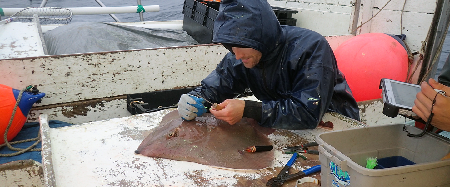 ACCOL researcher tags thorny skate with a PSAT (IMG)