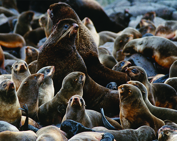 [IMG] A colony of Northern fur seals on land.