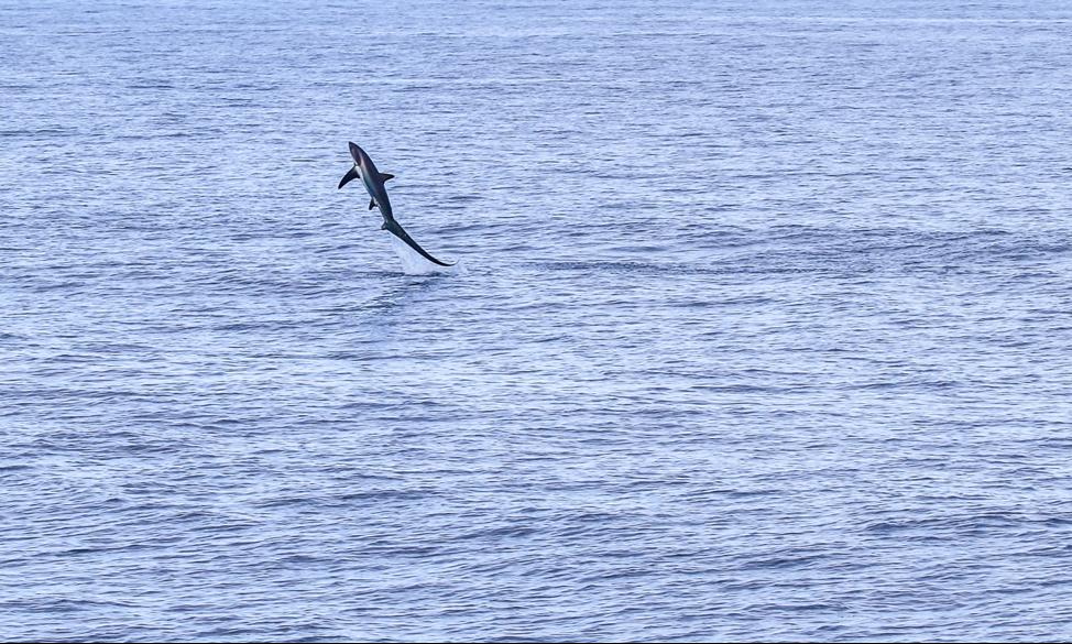 Thresher shark jumping out of the water.