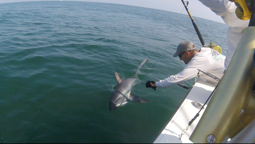 Scientist prepares to release a female common thresher shark.