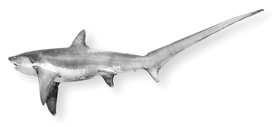 [IMG] A common thresher shark.