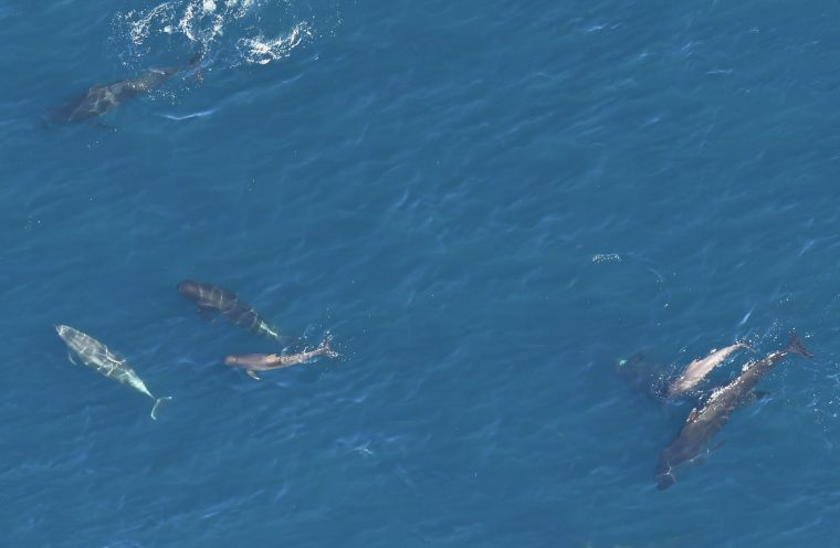 Pilot whales and Bottlenose dolphins photographed during an April 23, 2018, aerial survey.