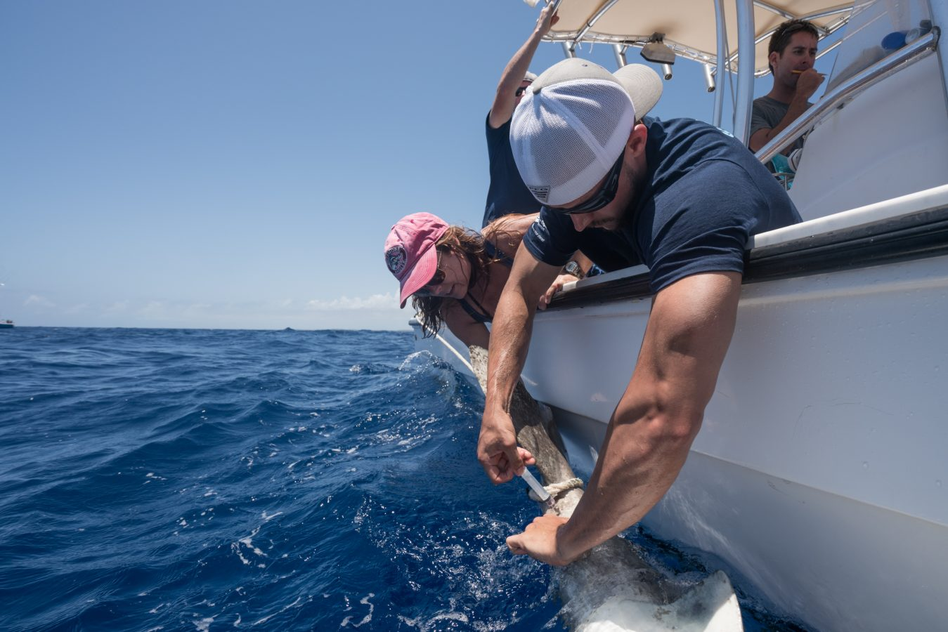 Ryan Knotek (University of Massachusetts Boston Ph.D. candidate) drawing blood from an oceanic whitetip shark. Photo courtesy: Andy Mann.