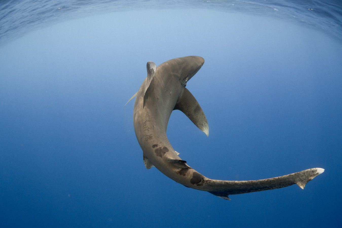 Oceanic whitetip shark swims off Cat Island, the Bahamas. Photo courtesy: Andy Mann