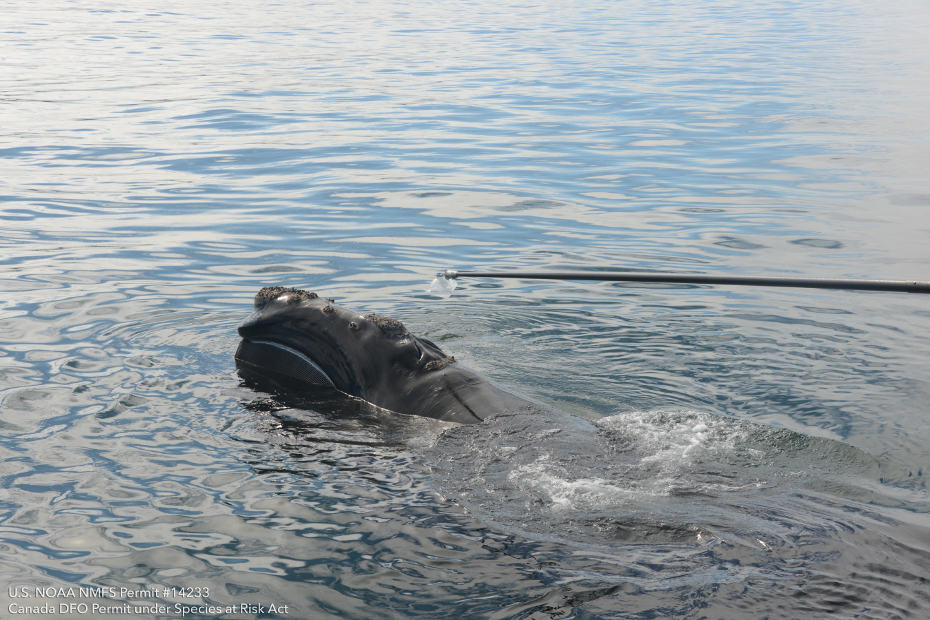 Collecting blow from a right whale.