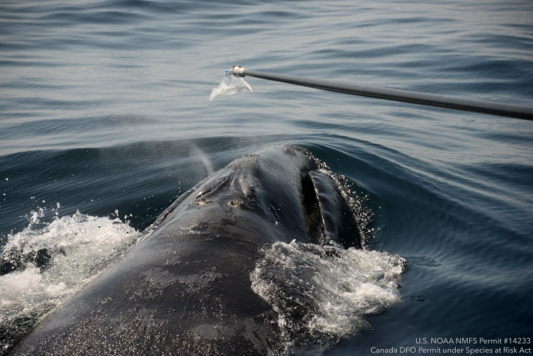 Scientists collect a blow sample from a surfacing whale.