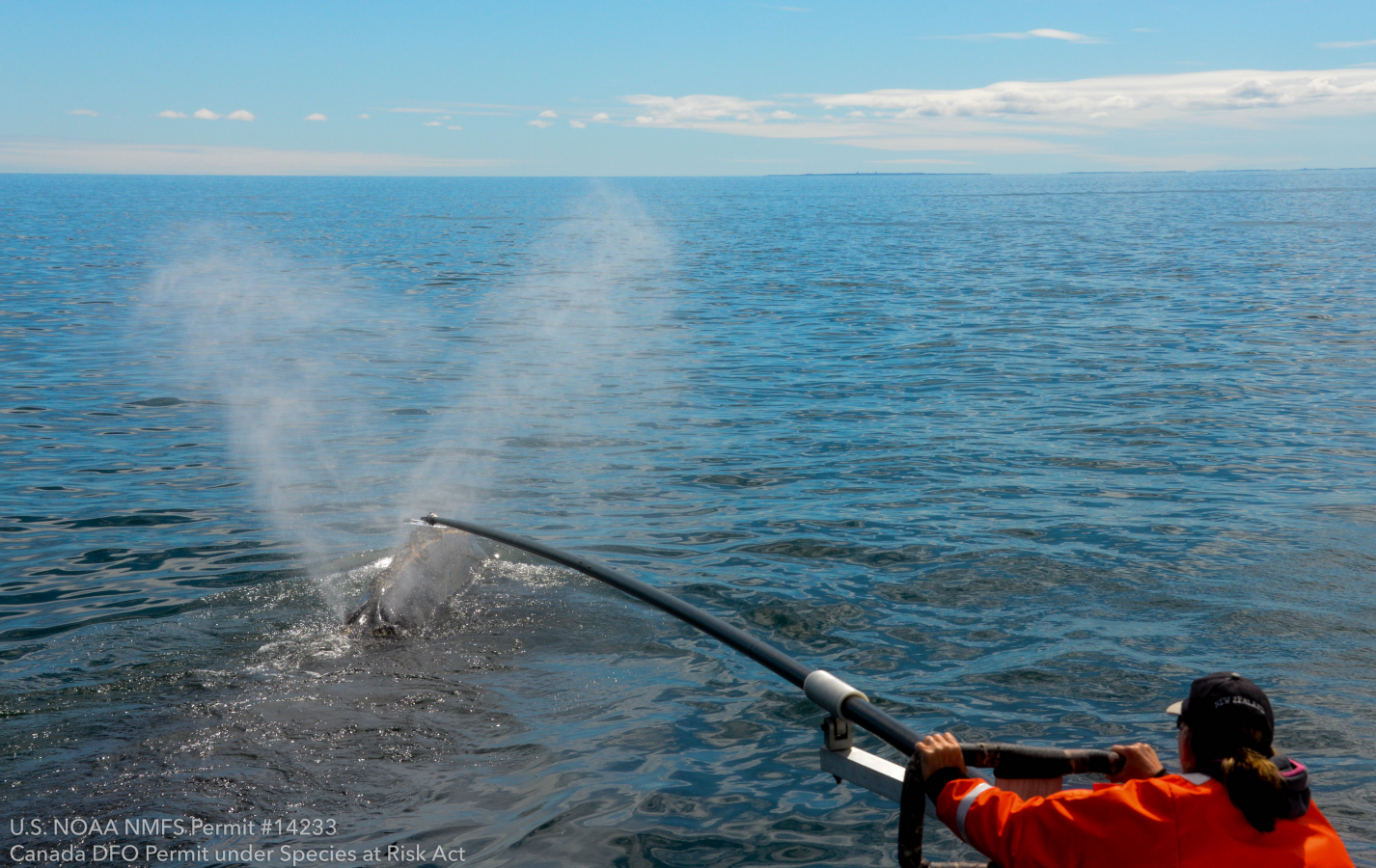 Scientist Dr. Rosalind Rolland collects a blow sample from a surfacing right whale.