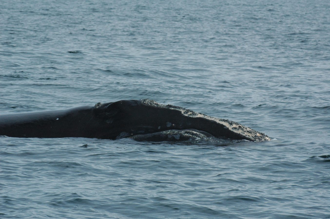 Right Whale in the Bay of Fundy in 2009.