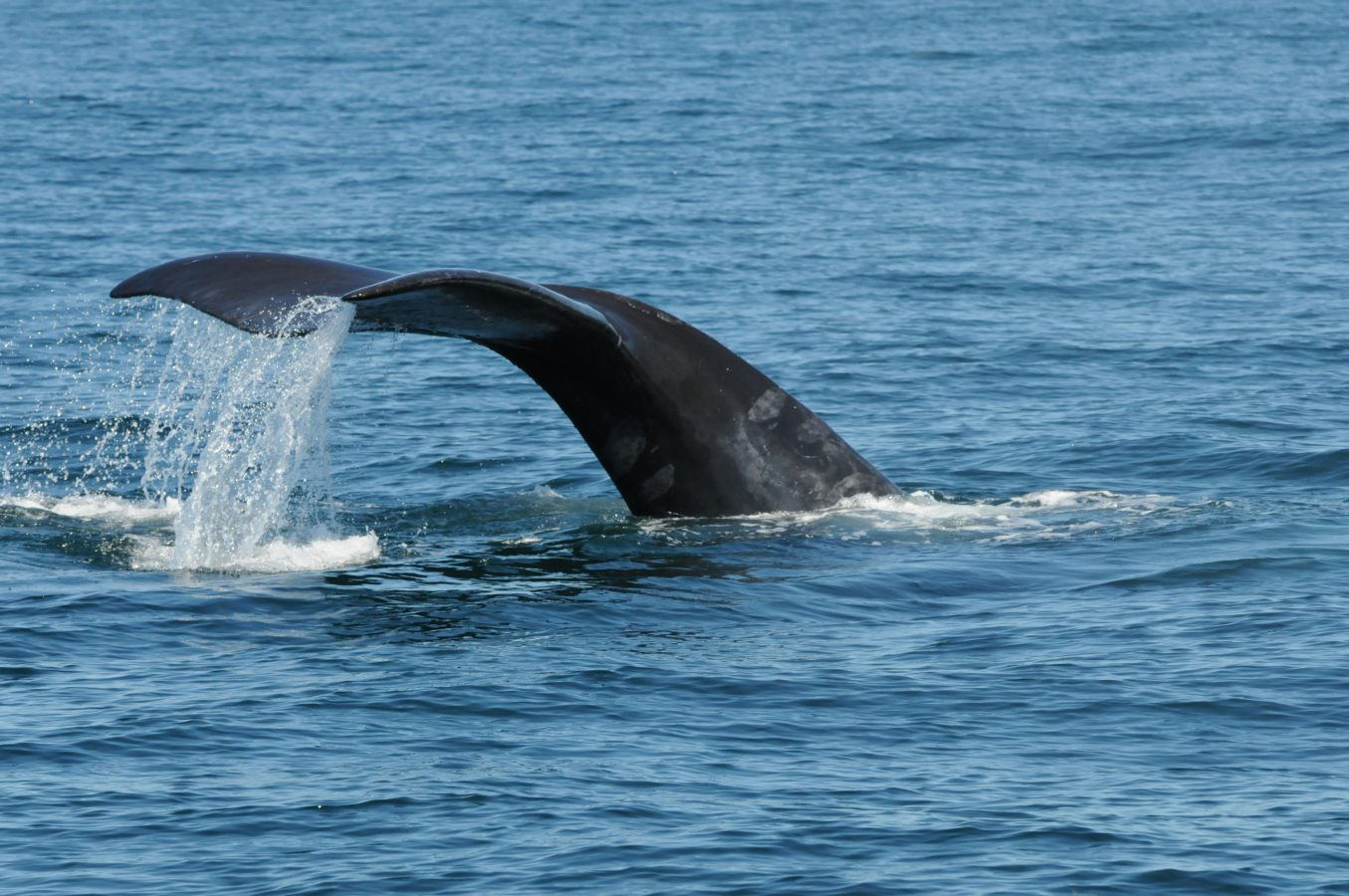 Fluke of right whale #3991.