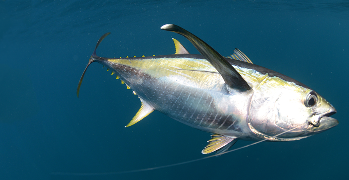 Hooked Yellowfin Tuna. Courtesy iStockPhoto.
