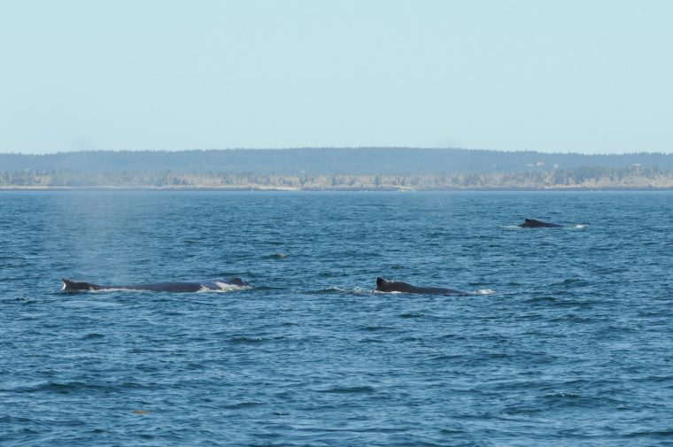 A group of humpback whales.