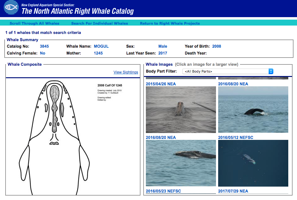 Mogul's profile in the North Atlantic Right Whale Catalog.