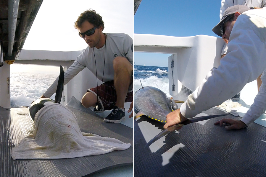 Scientists tagging a yellowfin.