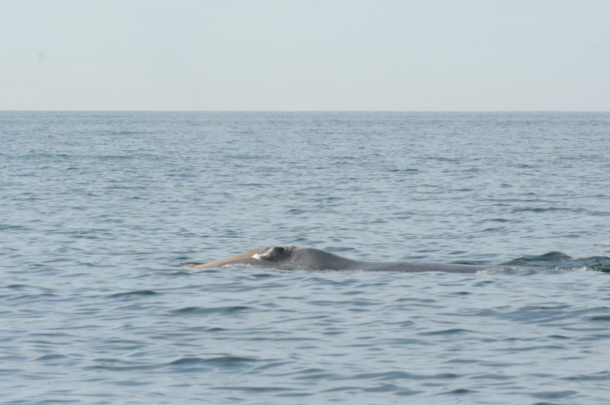 Right whale at surface showing loss of blubber layer.