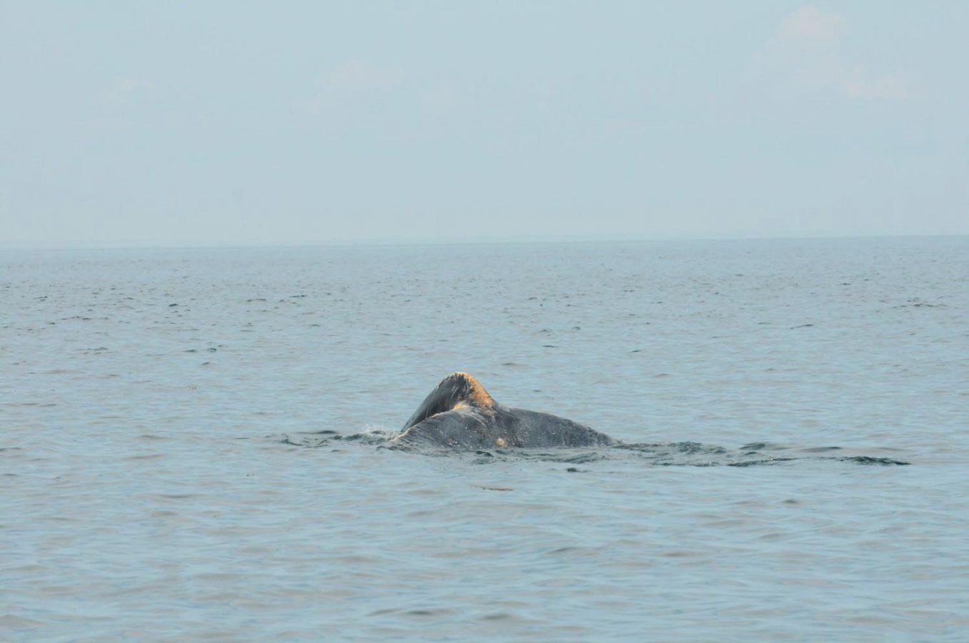 injured whale fluke.