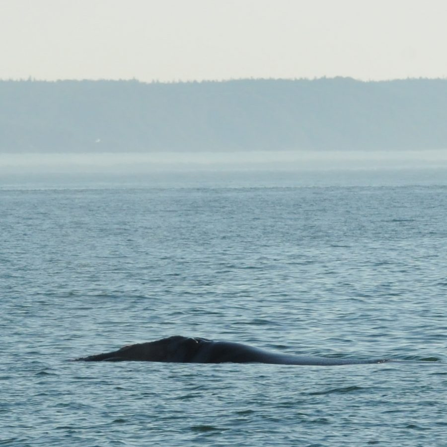 Right Whale Whale #3570