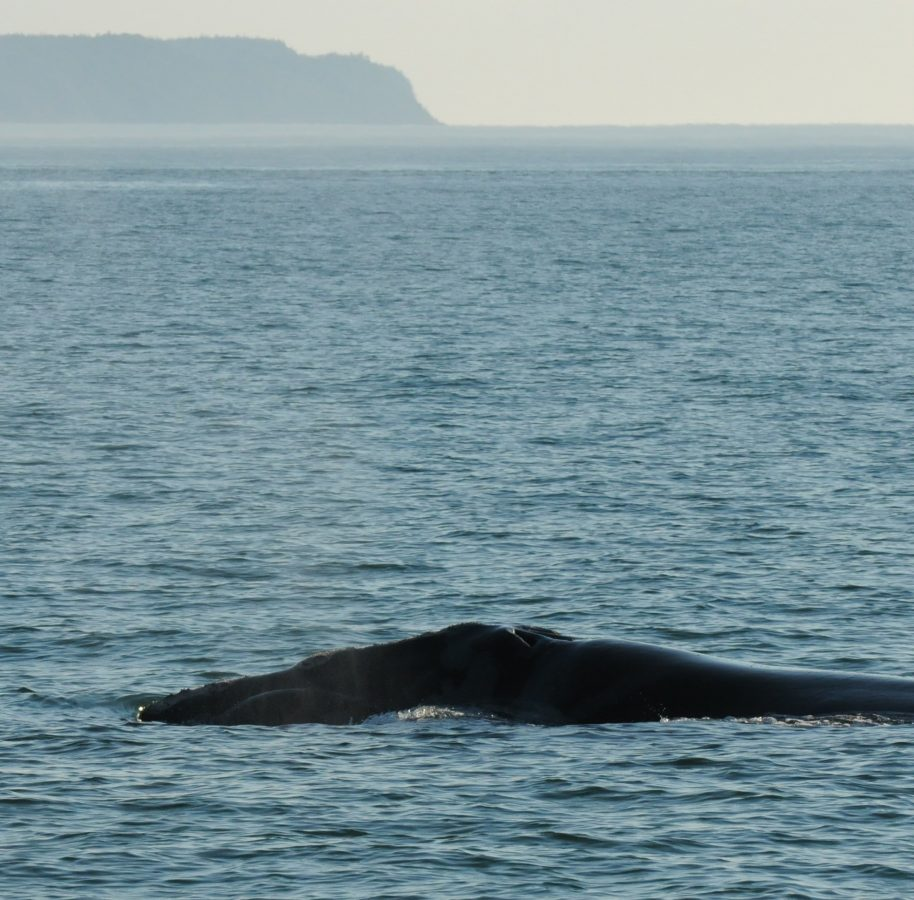 Right Whale Catalog #3150