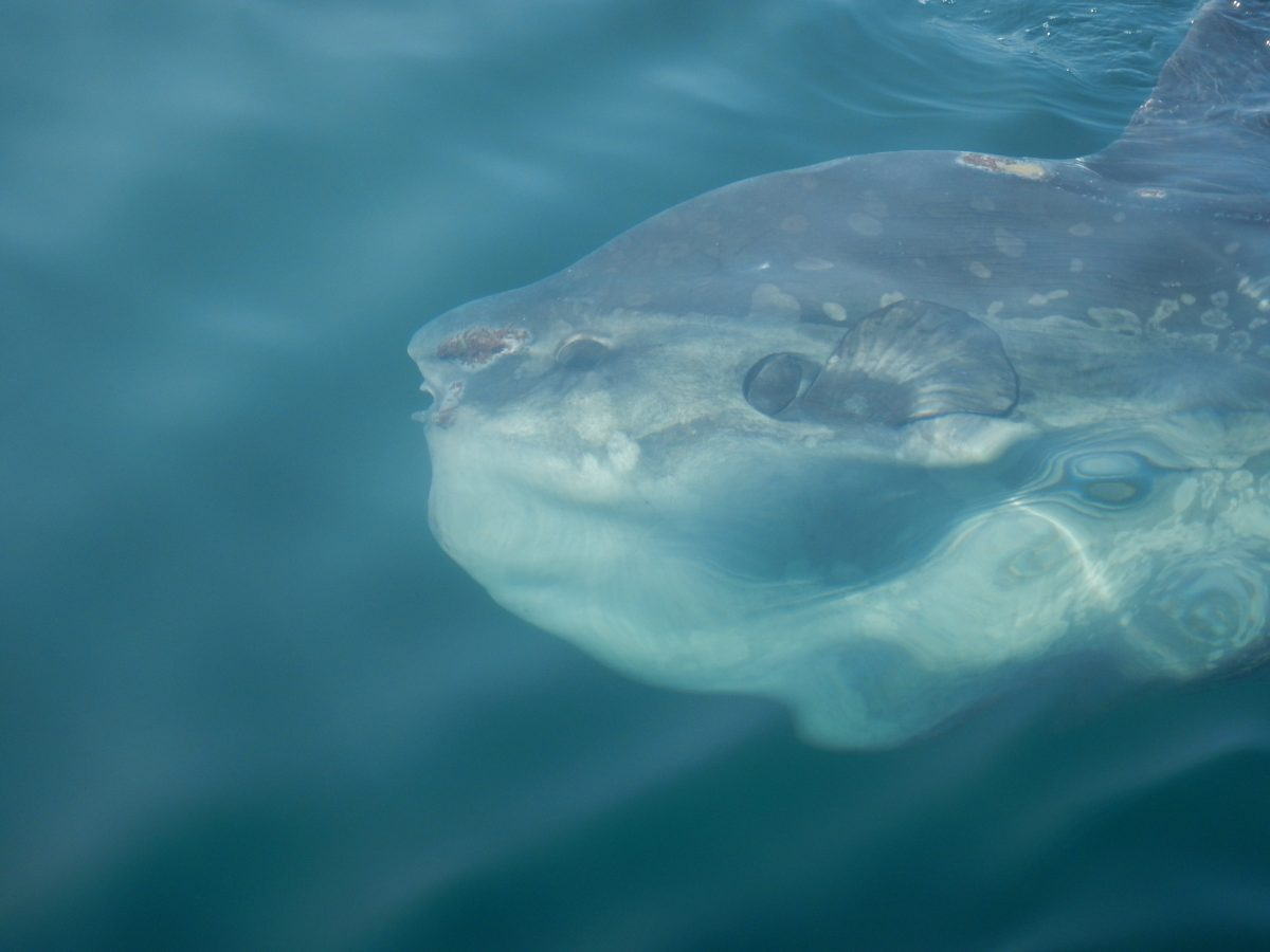 A large ocean sunfish (Mola mola) swims near the boat in the Bay of Fundy