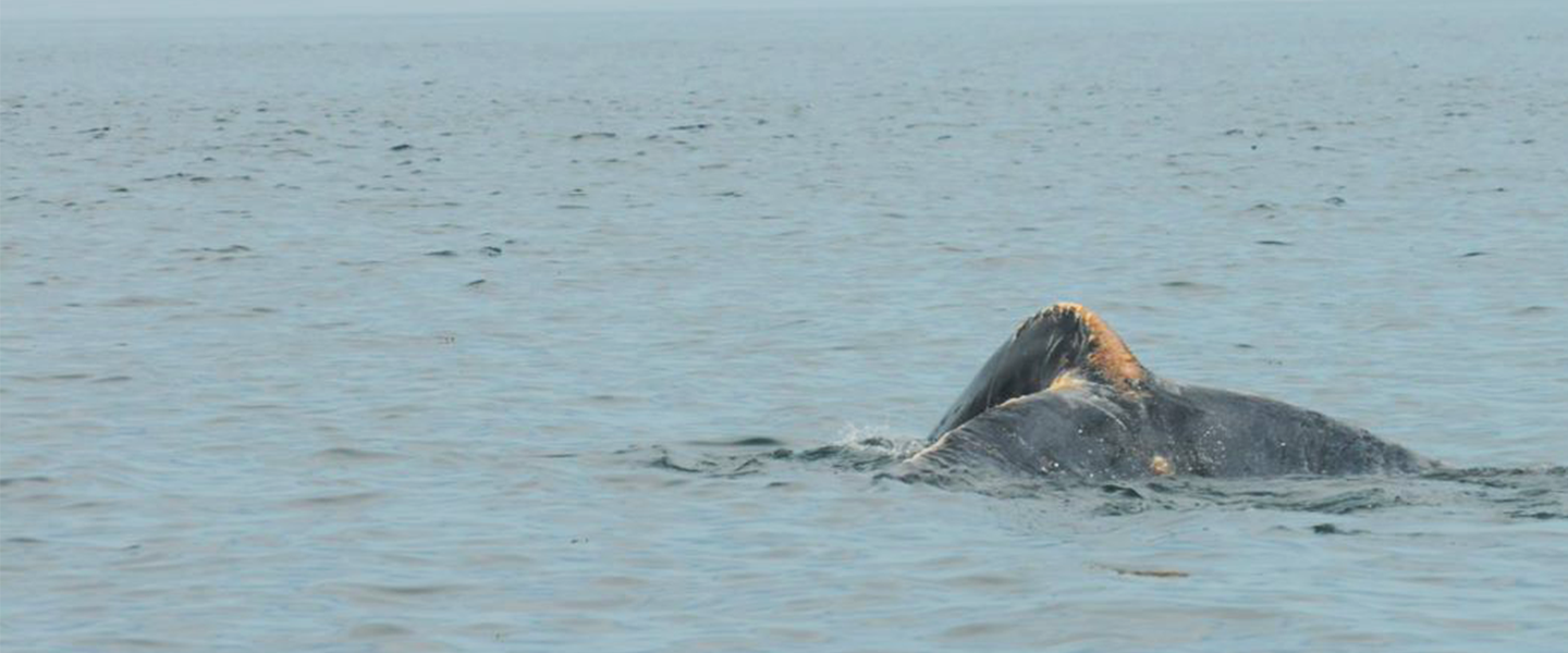 injured right whale tail.