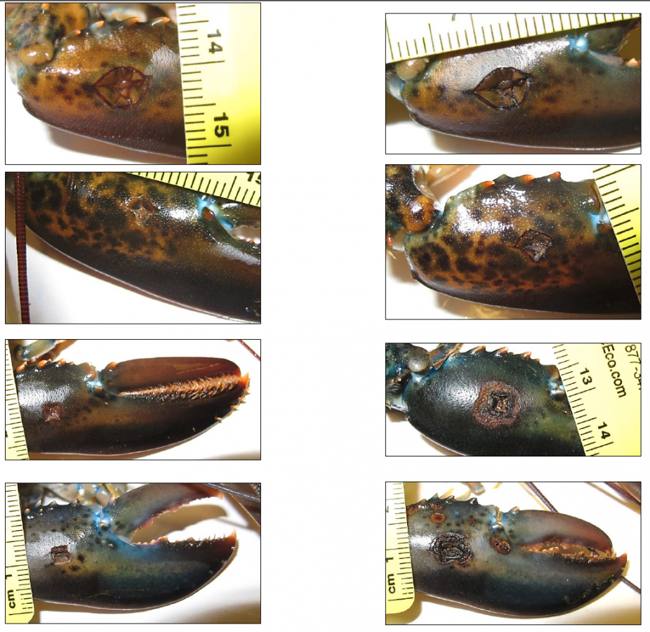 Claw puncture wounds on lobsters with laboratory-based shell disease.