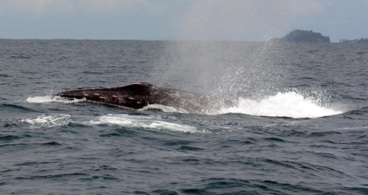 bloody male humpback