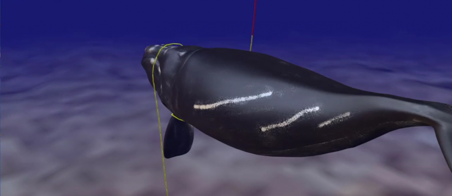 a screenshot of the right whale entanglement simulation from Howle et al 2018