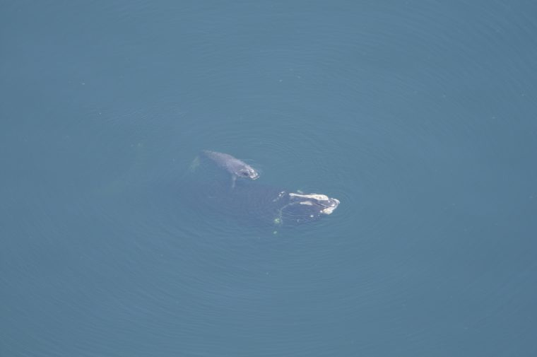 #2791 and her second calf on March 10, 2009, off the coast of Florida. Photo taken under Permit #NMFS 655-1652-01 Credit: Kara Mahoney/New England Aquarium