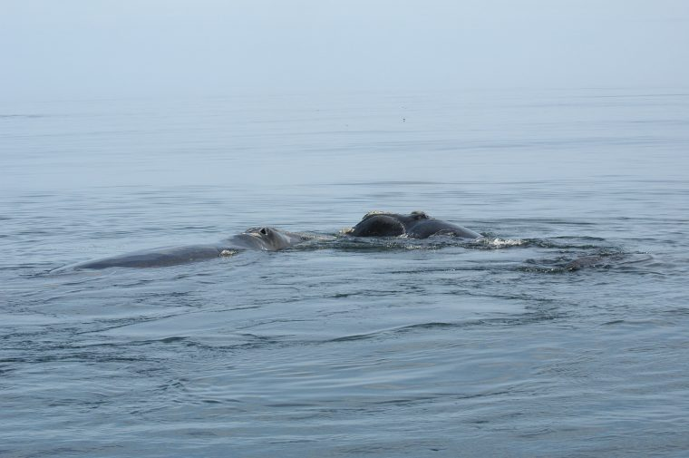 #2791 and her second calf on September 12, 2009, in the Bay of Fundy. Photo credit: Jessica Taylor/New England Aquarium