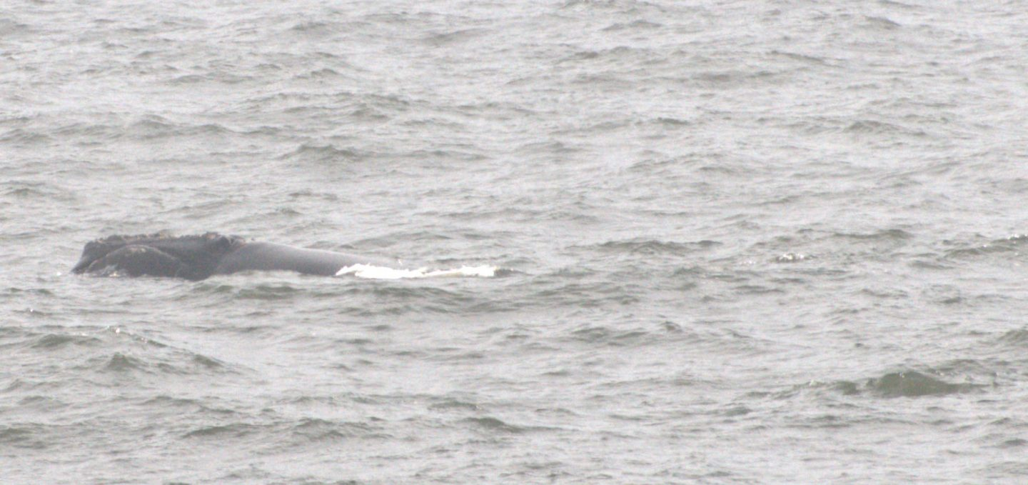 2791 and calf on December 28, 2018 off the Florida coast. Photo: Chad Leedy/Coastwise Consulting