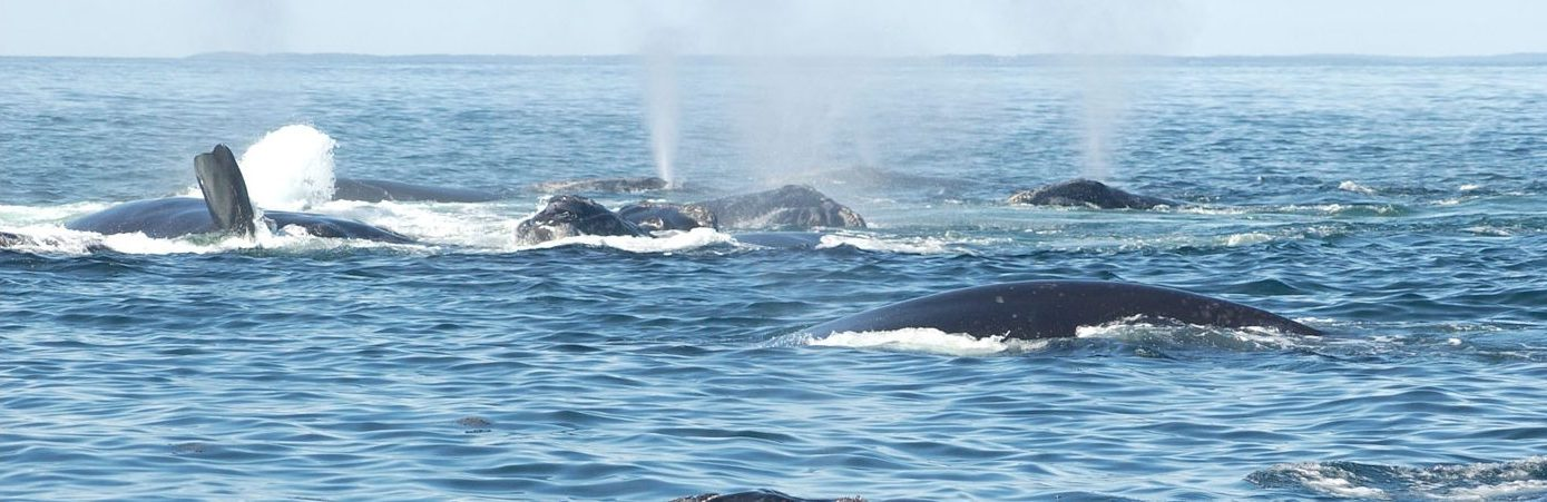 North Atlantic right whales participate in a surface active group.