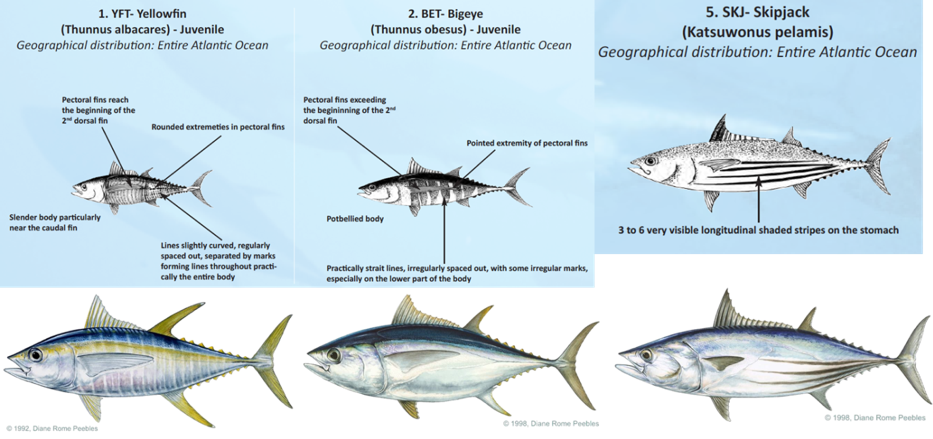 Species identification characteristics of yellowfin, bigeye, and skipjack tuna provided by ICCAT (top). Images in bottom row taken from IGFA.