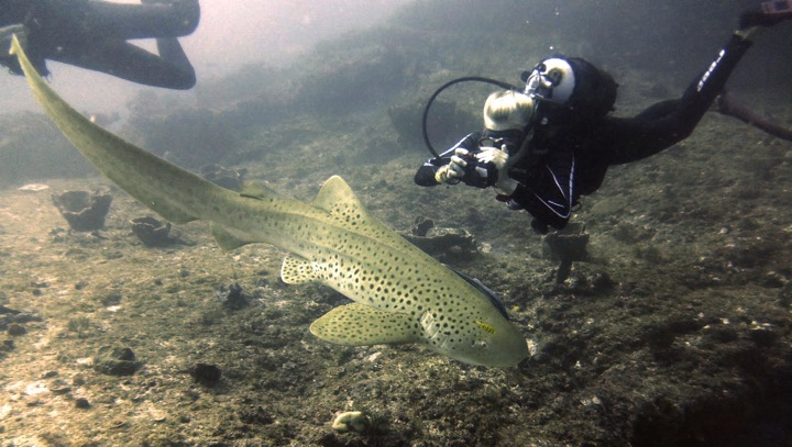 MCAF grantee Saoirse Pottie takes a photo that will help identify this individual zebra shark.