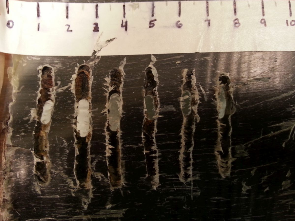 a baleen plate after sampling