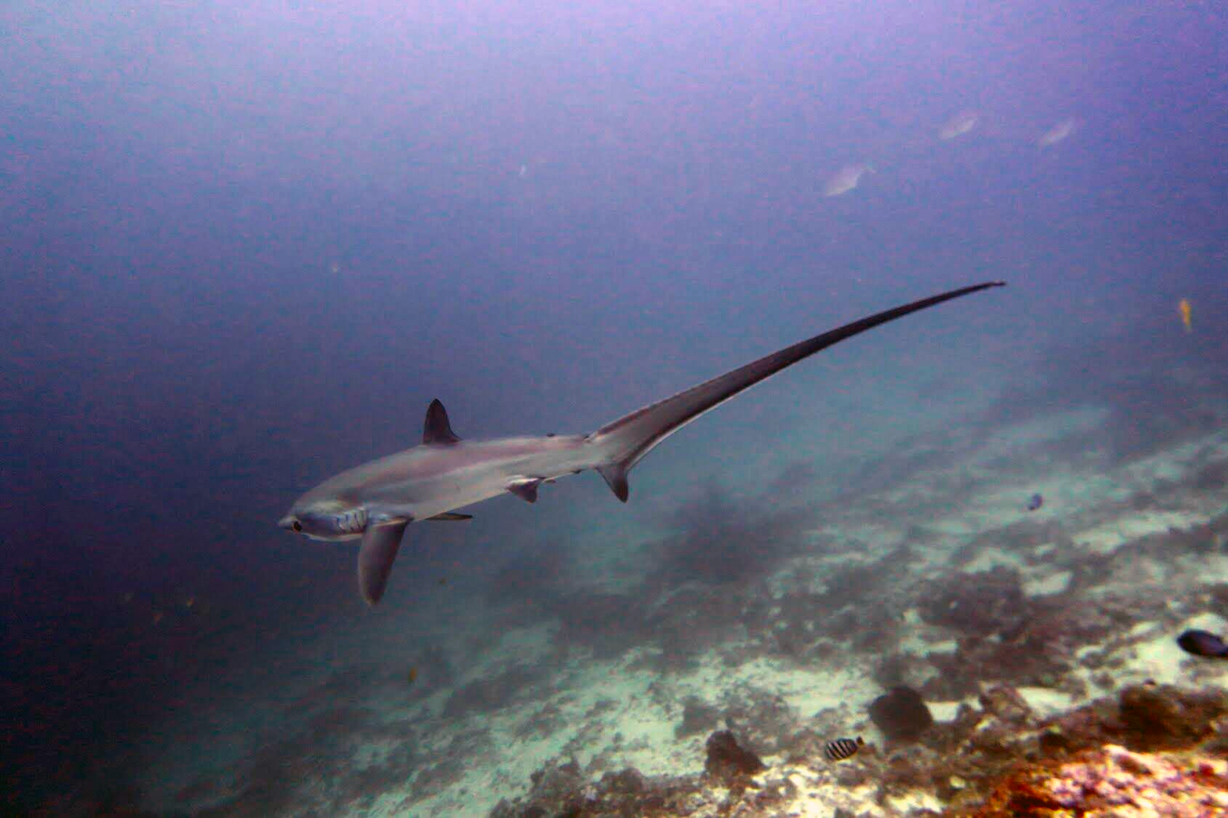 Thresher Shark. Photo by: Anna Oposa.