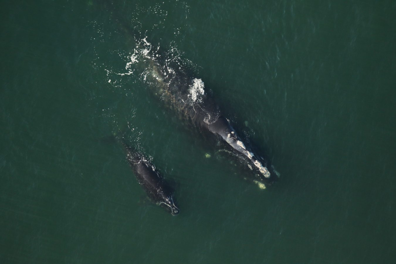 North Atlantic right whale Clipper and her calf