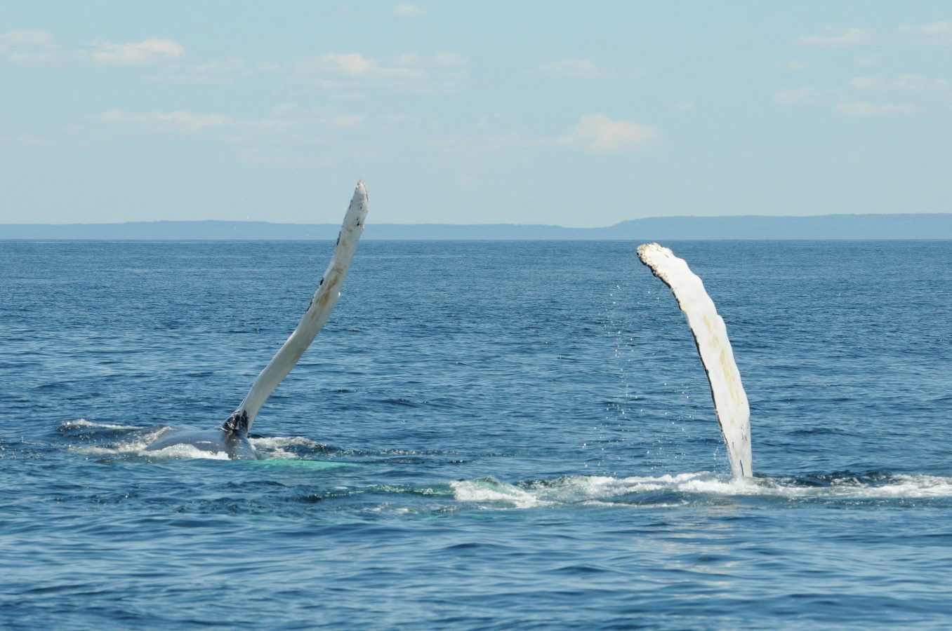 Two humpbacks slapping the surface with their pectoral fins.