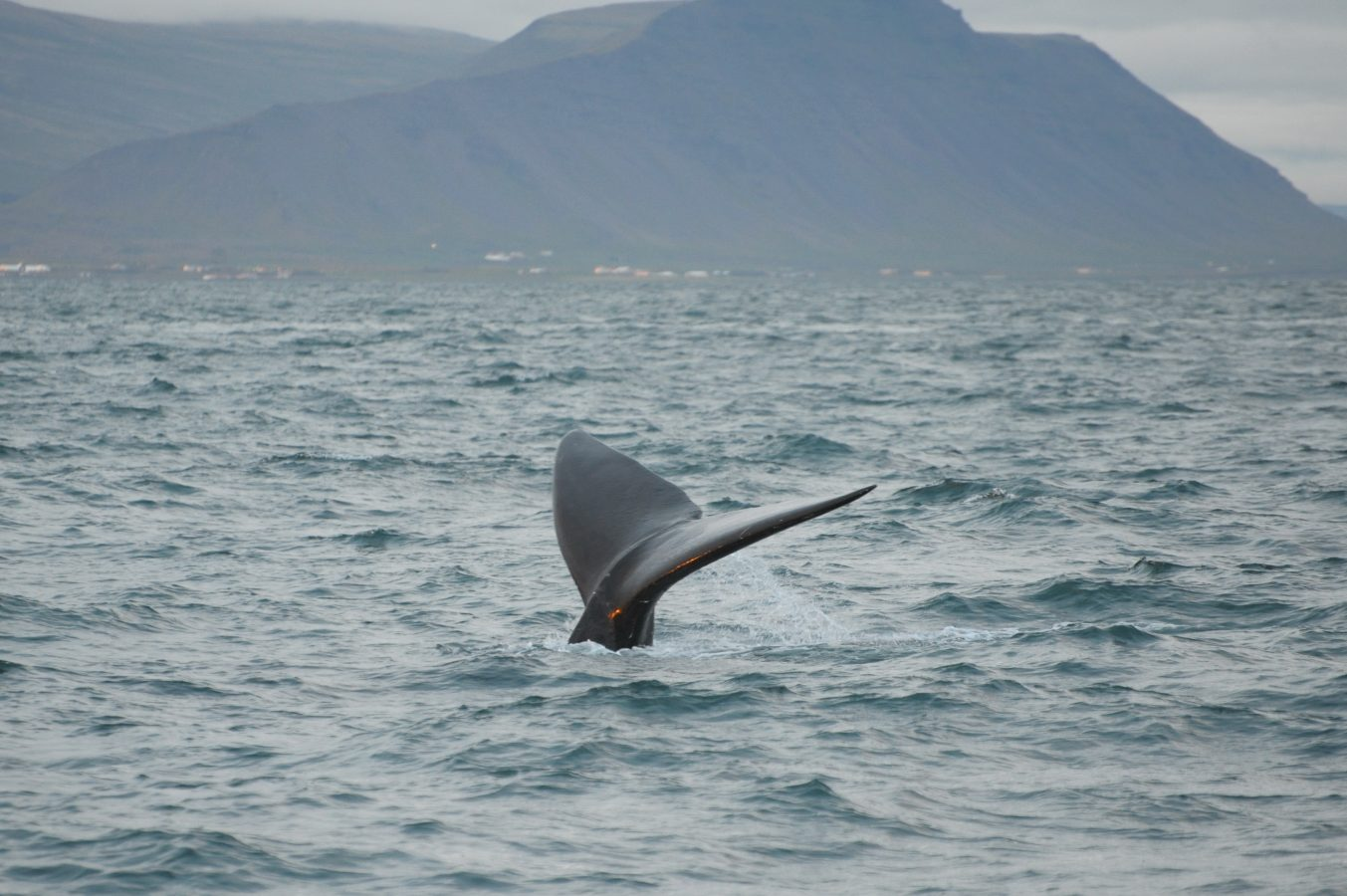 Mogul the North Atlantic right whale in Iceland