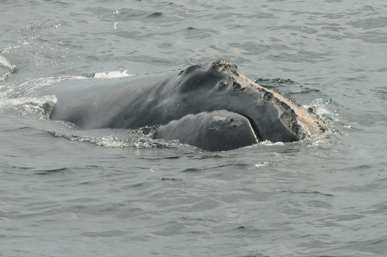 Mogul the North Atlantic right whale