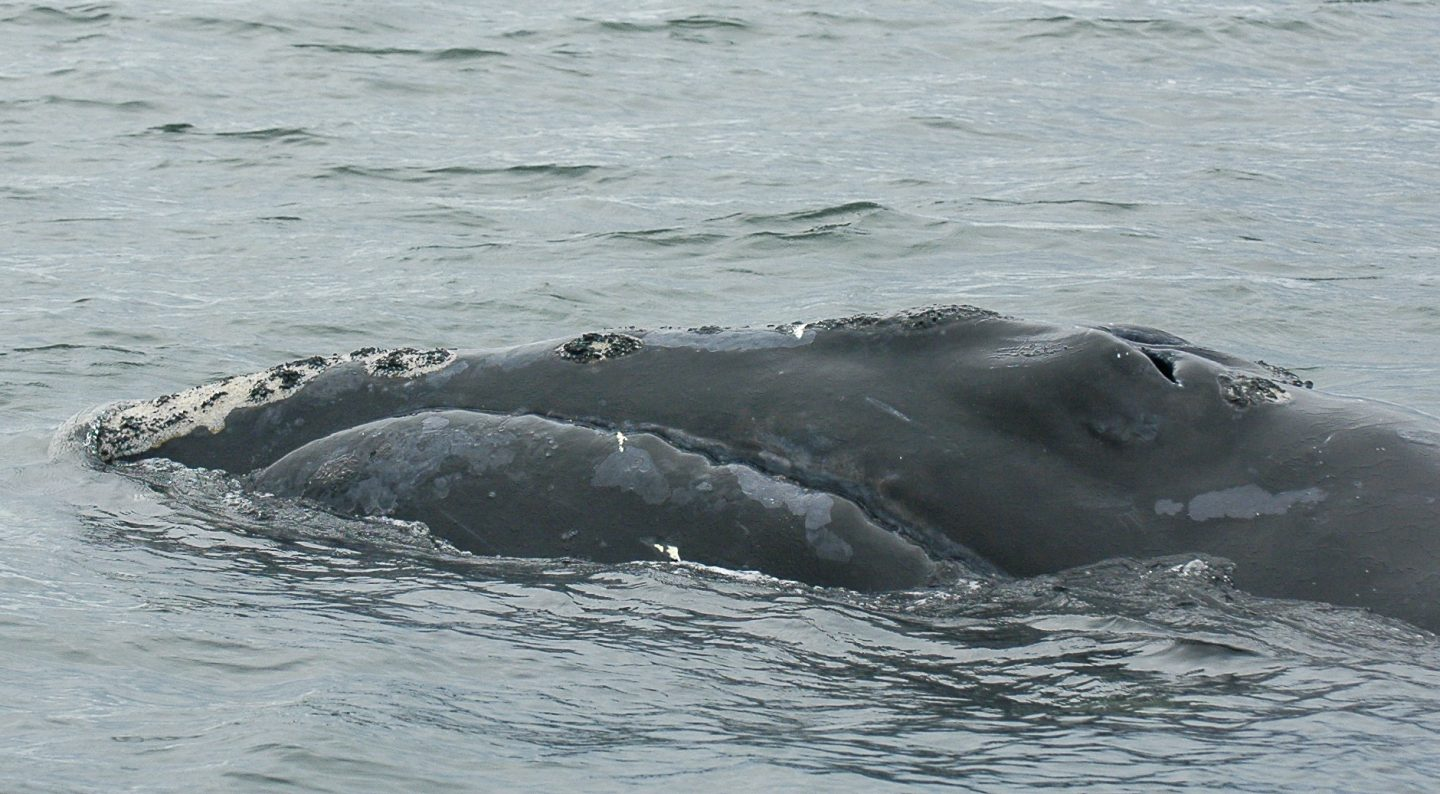 North Atlantic right whale No. 2710 without mud