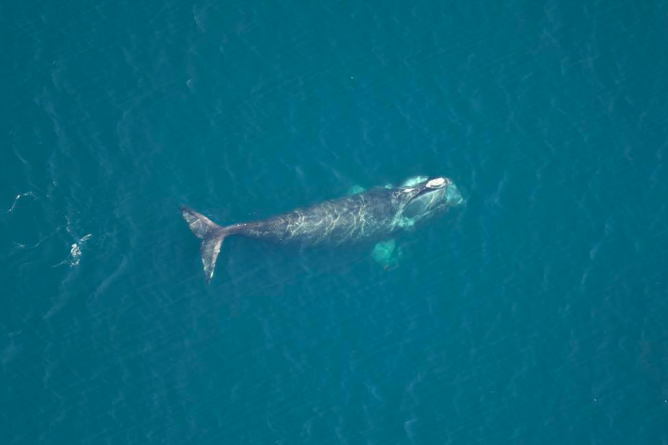 Right Whale Catalog #3421, died in July 2019.