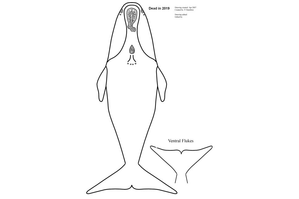 A composite drawing of Right Whale Catalog #3421